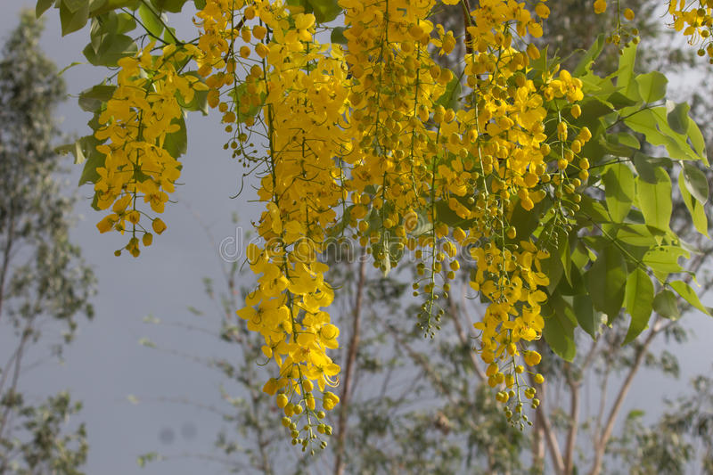Yellow flowers, Golden shower flowers in Thailand stock image