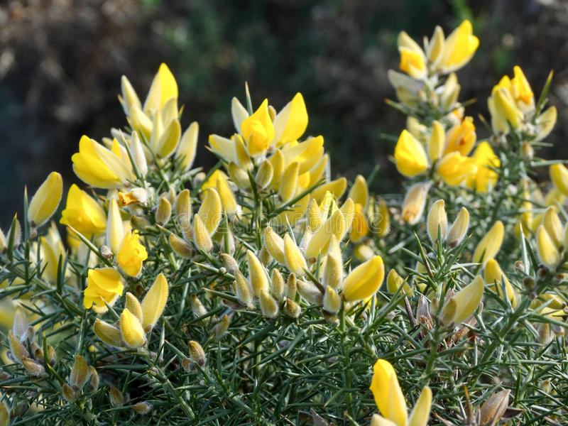 Yellow flowers on gorse royalty free stock photography