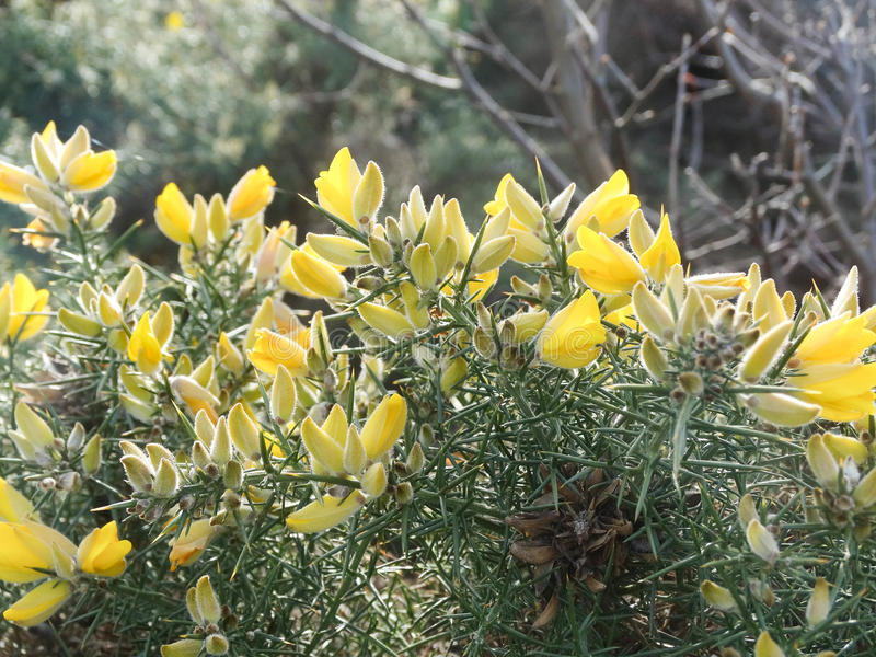 Yellow flowers on gorse 2 royalty free stock images