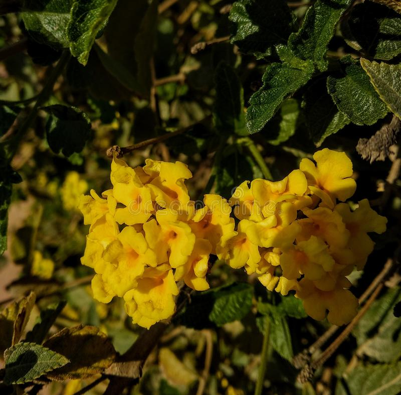 Yellow flowers royalty free stock image