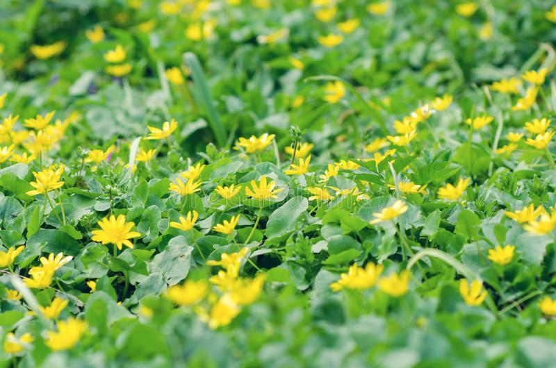 Yellow flowers and green leaves background texture.  royalty free stock images