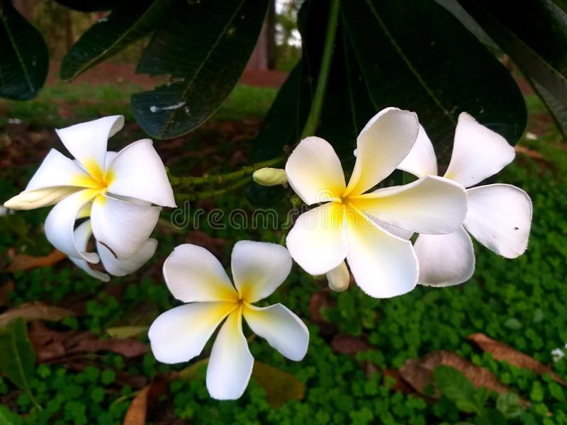 Thai flower Pink White yellow green Leaves Refreshing Flowers Flower tree Paradise lotus Stone courtyard sunflower Grass flowers l. Yellow flowers and green royalty free stock image
