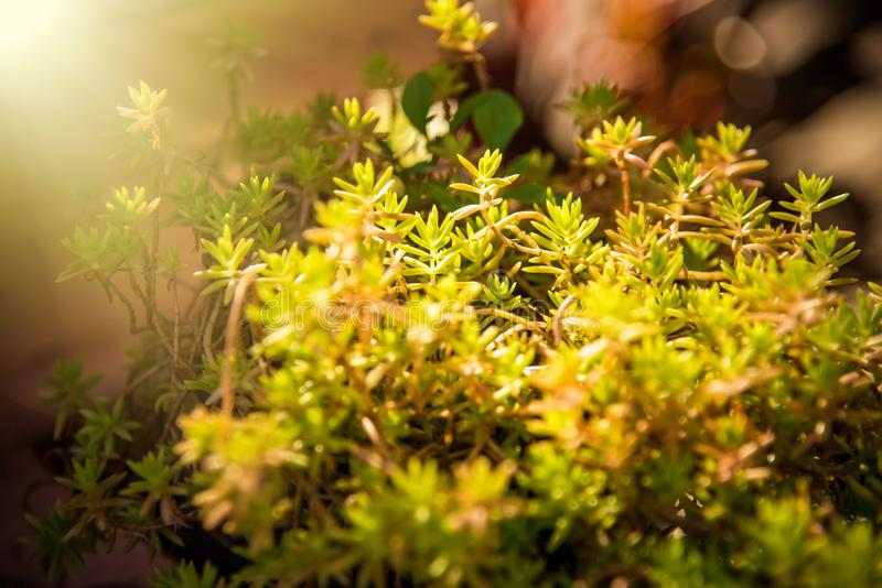 Yellow flowers in Green Summer Grass Meadow Close-Up With Bright Sunlight. Sunny Spring Background royalty free stock images