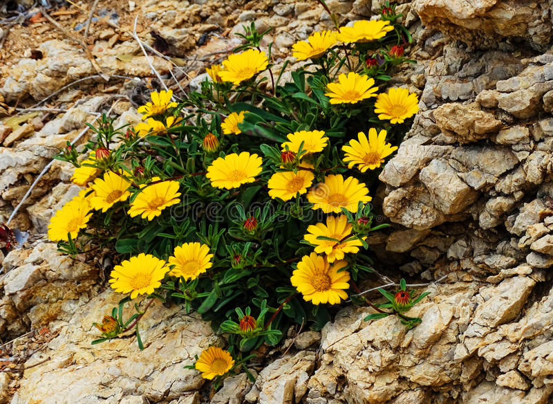 Yellow flowers grow in rocks, Spain royalty free stock images