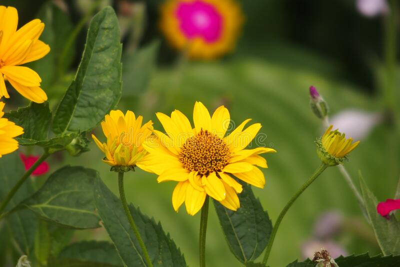 Yellow flowers growing in the garden among green foliage background on a warm summer day in close-up stock photos