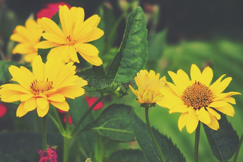 Yellow flowers growing in the garden among green foliage background on a warm summer day in close-up stock photo