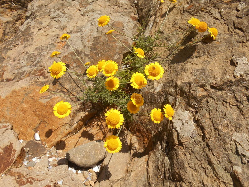 Yellow flowers growing on a rock. Hot Summer. Life conquers death. Even stones can grow a beautiful flower. Seacoast. Bulgaria. Sinemorets royalty free stock photography