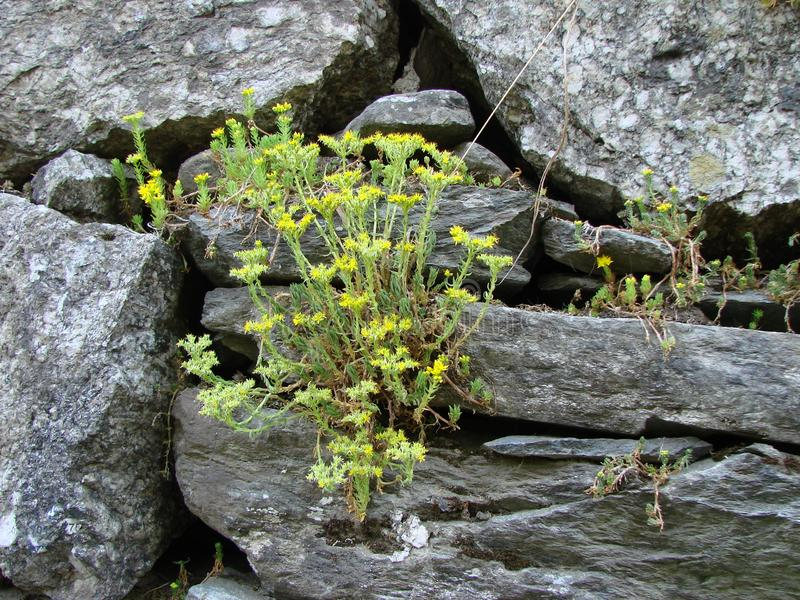 Yellow flowers grown on a stone wall stock images