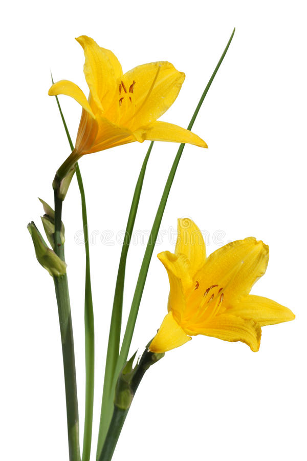 Yellow flowers Hemerocallis royalty free stock photo
