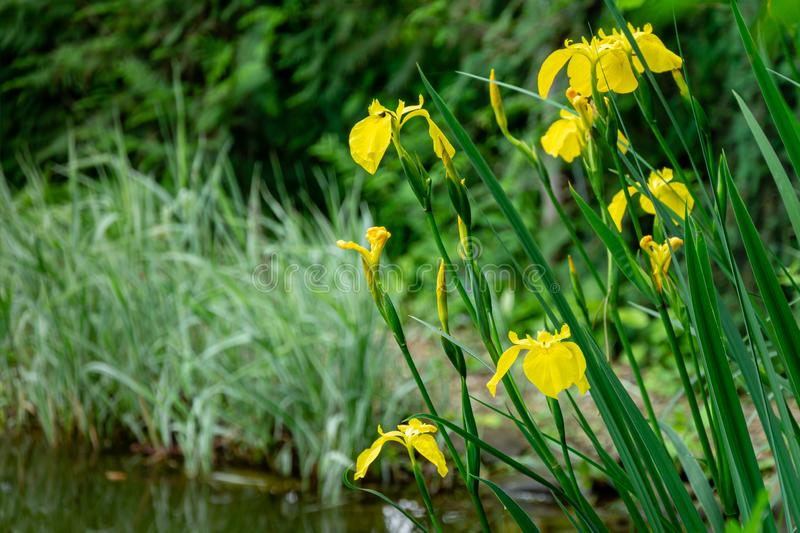 Yellow flowers Iris pseudacorus yellow flag, yellow iris on the shore of beautiful pond on the blurred green royalty free stock images