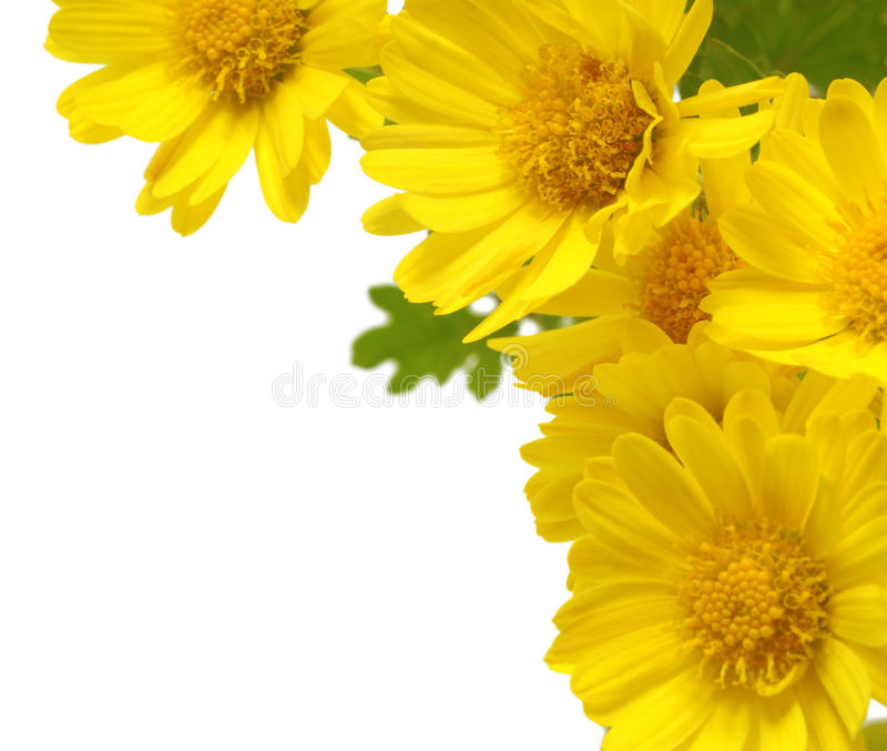 Yellow flowers isolated stock image. Image of petals ...