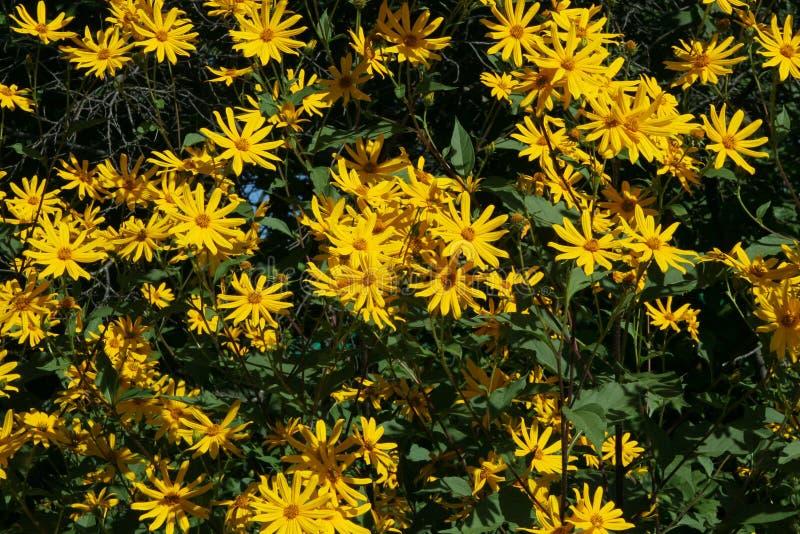 Yellow flowers of Jerusalem artichoke Helianthus tuberosus also called topinambour , sunroot, sunchoke and earth apple. Close up stock photos