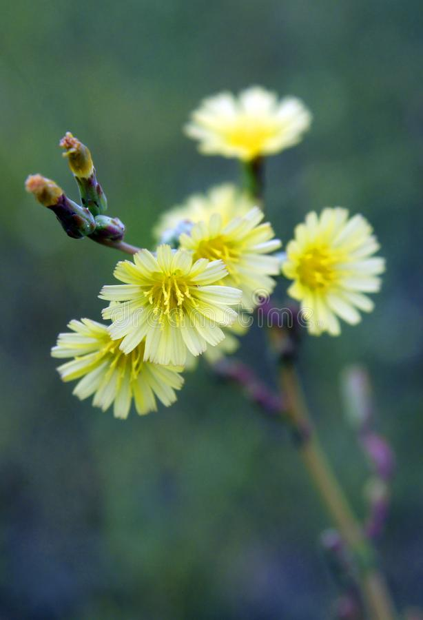 Yellow flowers of Lactuca serriola royalty free stock image