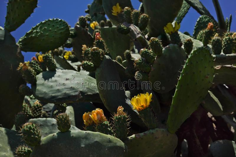 Yellow flowers on large green cacti against a blue sky. Wildlife. Close up. royalty free stock photo