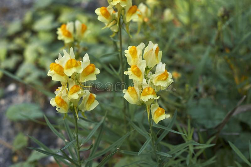 Yellow flowers of Linaria vulgaris. Yellow and orange inflorescence of Linaria vulgaris plants royalty free stock photography