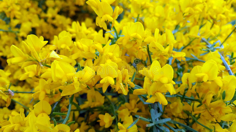Yellow flowers. Lotus corniculatus. Common Birds-foot trefoil. Lotus corniculatus.Spring flowers in the garden stock photos