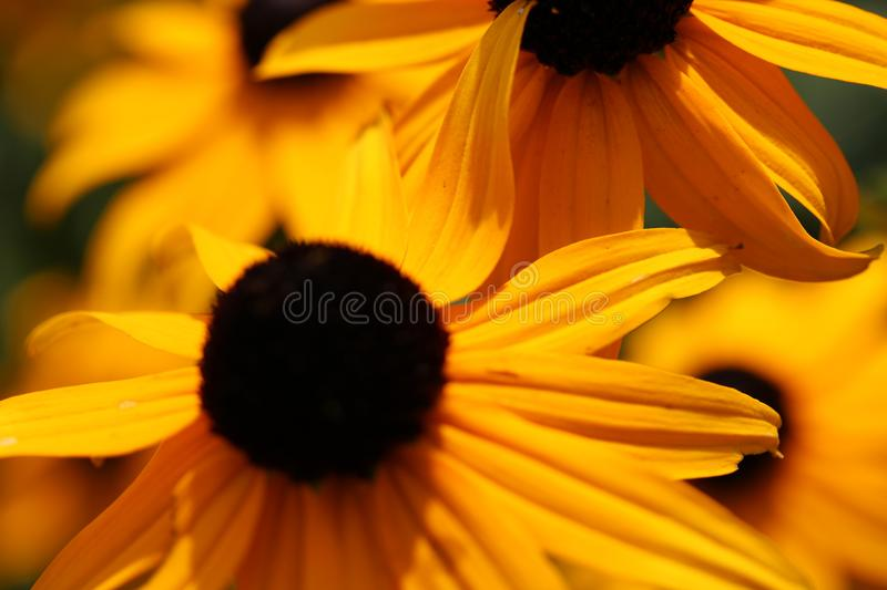 Yellow flowers, macro nature photography, large daisy. Rudbeckia hirta, detailed on petals and the ´black eye´ Photo is with fine bokeh and warm colors stock photo