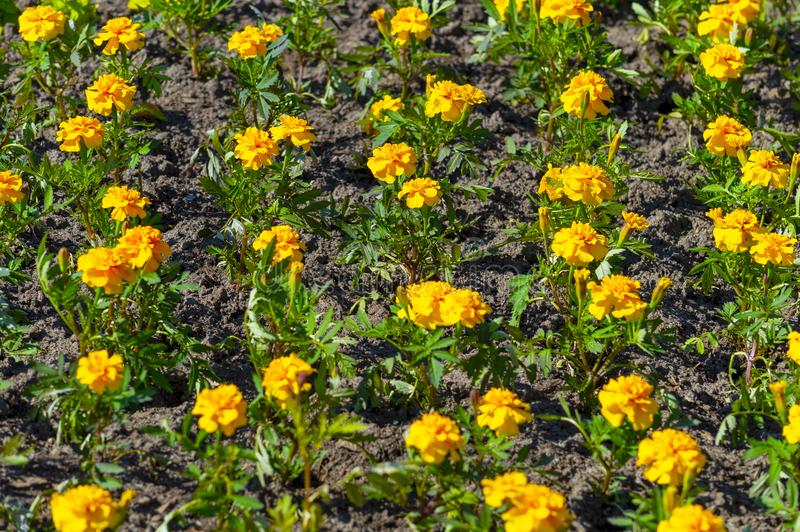 Yellow flowers of marigold on a flower bed. stock image