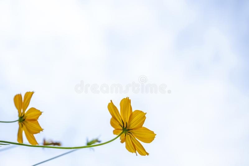 Yellow flowers with meadow and white sky background stock image