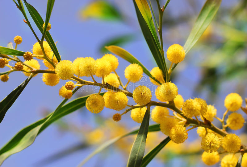 Bright yellow flowers of mimosa. Yellow flowers of mimosa on a background of blue sky stock photo