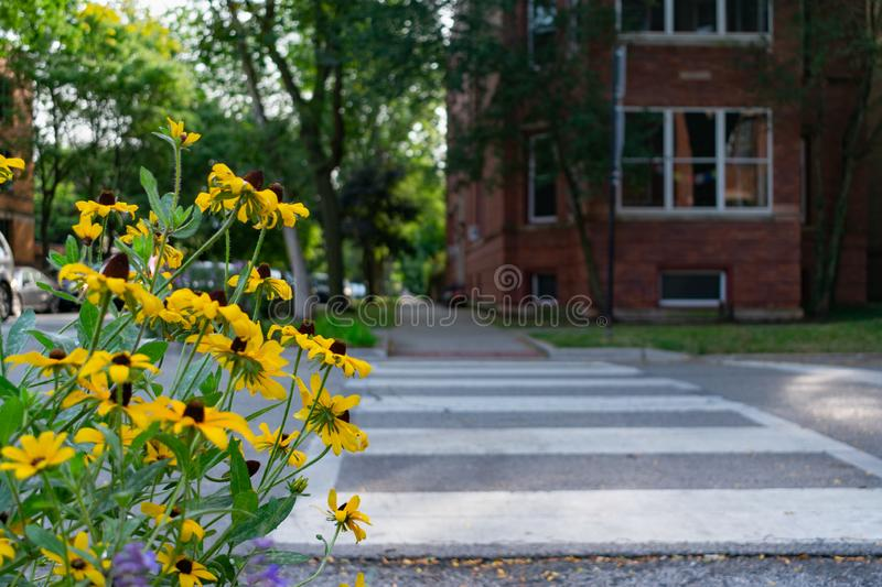 Yellow Flowers next to a Sidewalk and Residential Street Crossing in Andersonville Chicago stock photo