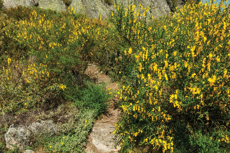 Yellow flowers over bushes and rocks stock photography