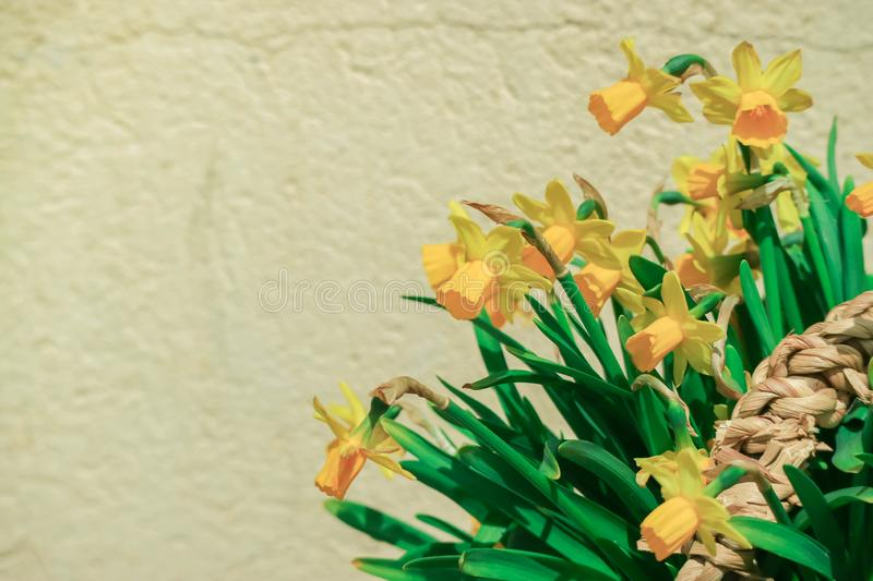 Yellow flowers over Old wall background. Backdrop with copy space royalty free stock photo