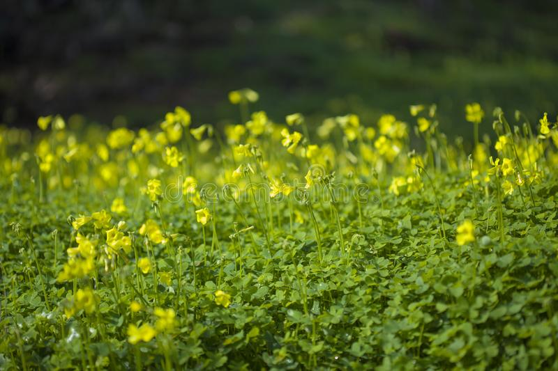 Yellow flowers of Oxalis pes-caprae, Bermuda buttercup. Invasive species and noxious weed stock image