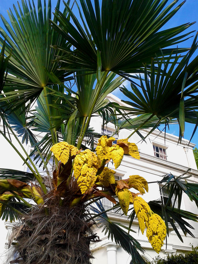 Yellow flowers of a palm tree stock image image of architecture download yellow flowers of a palm tree stock image image of architecture vivid mightylinksfo