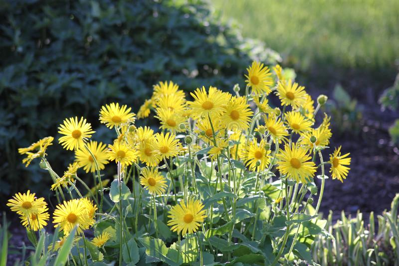 Yellow flowers in sunshine. Yellow flowers in a park on a sunny day in summer royalty free stock photos