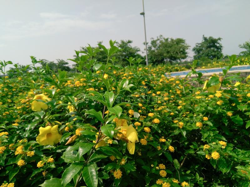 Yellow flowers plants bush in the garden, urban city outdoor photography. Yellow flowers plants bush in the garden photography. , life, nature, park, outdoors stock photos