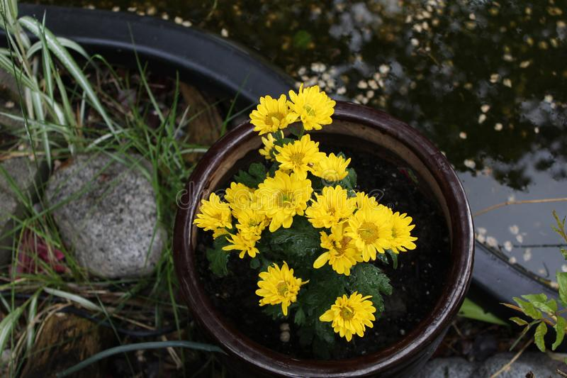 Yellow flowers in pot. Next to water rocks and grass. long grass next to rock stock photo