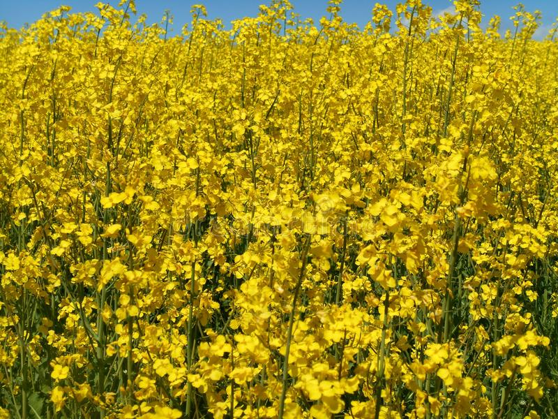 Yellow flowers rapeseed field blue sky solar texture background royalty free stock photo