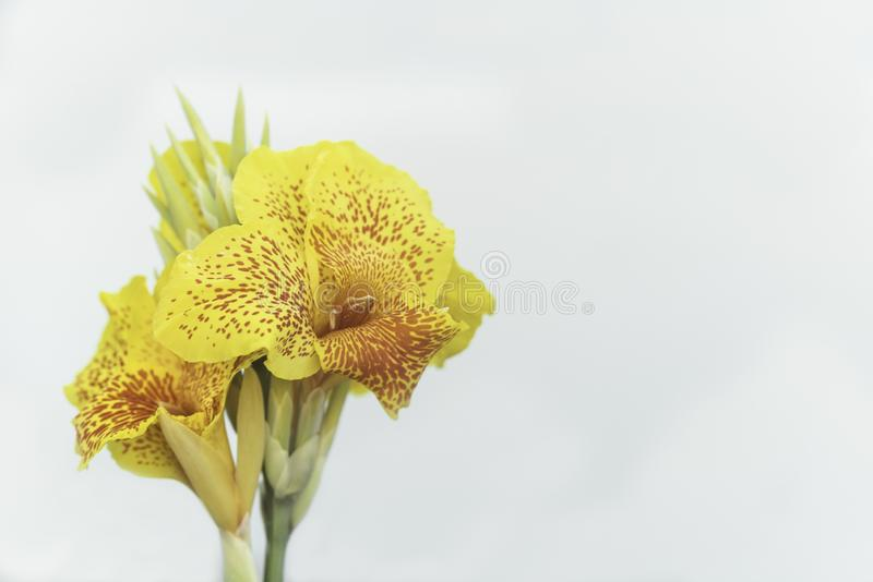 Yellow flowers with red dots, Canna picasso royalty free stock images