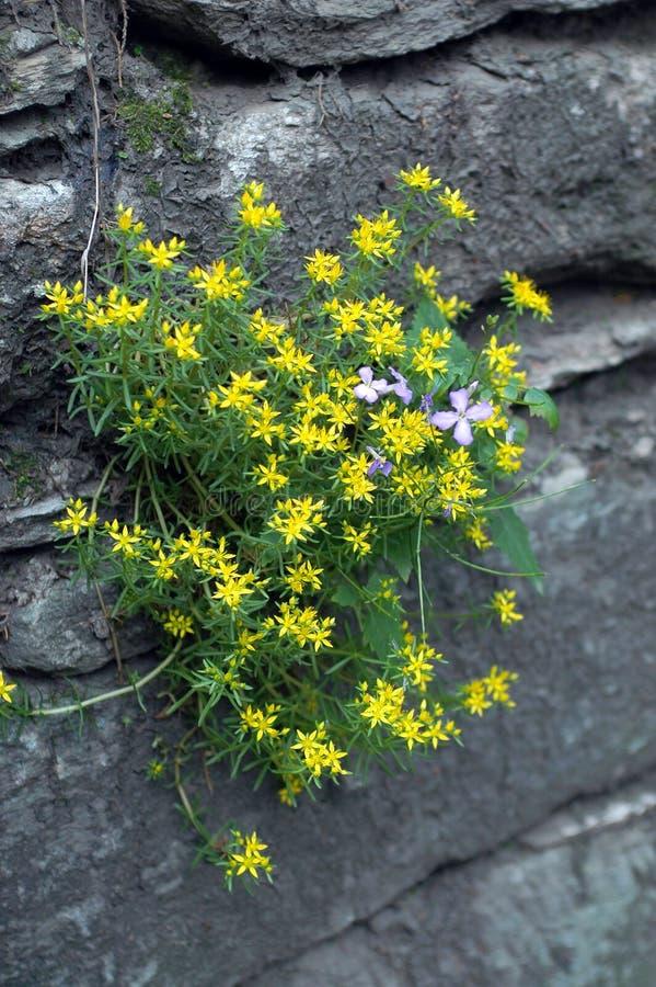 Yellow flowers on the rocks stock photo