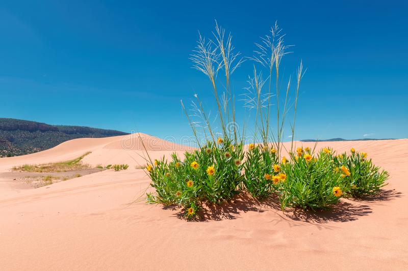 Yellow flowers in the sand dunes stock images