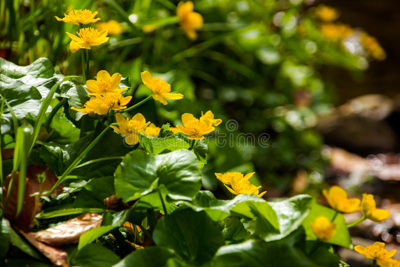 Yellow flowers in South Bohemia stock photos