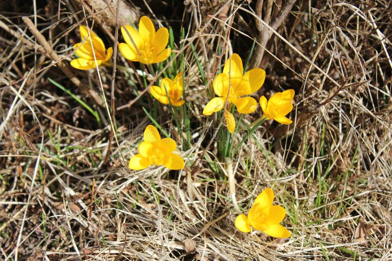 Yellow flowers and dry grass. Yellow flowers in spring with dry colourless grass royalty free stock photo