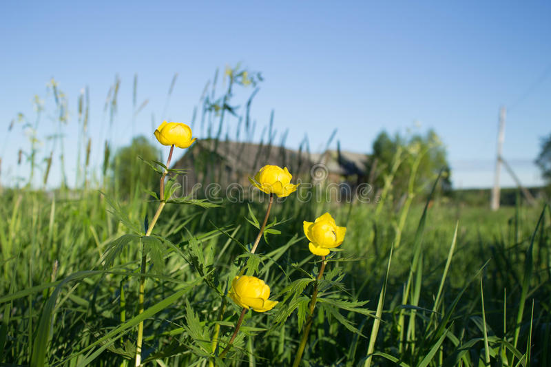 Yellow flowers in a summer day on the background of wooden houses royalty free stock photography