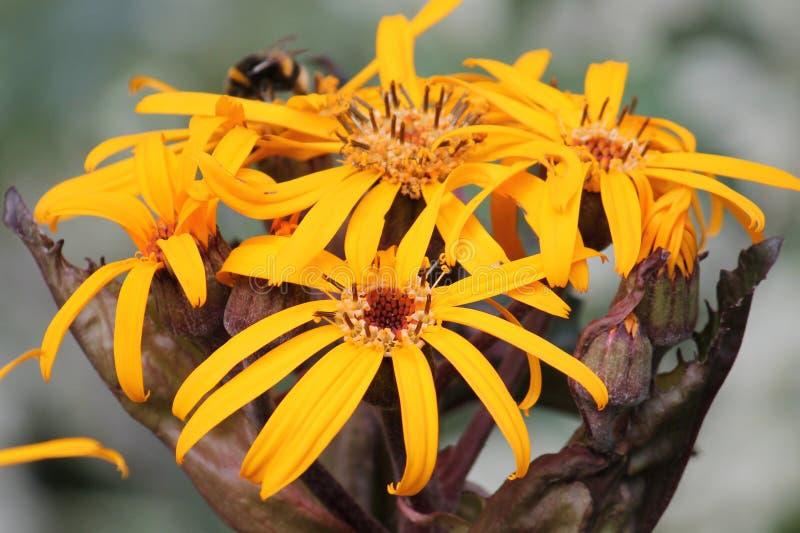 Yellow flowers of summer ragwort or leopardplant or Ligularia dentata stock photography