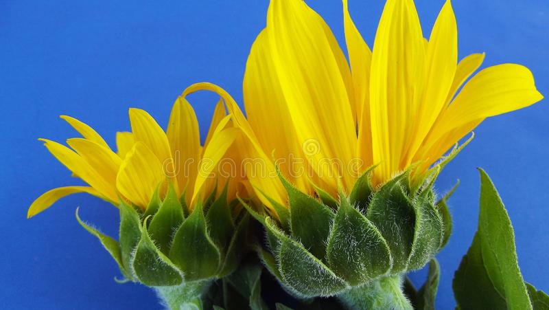 Yellow flowers of a sunflower. Yellow flowers of a sunflower on a blue background royalty free stock images