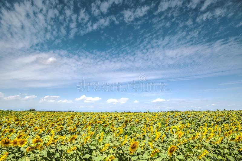 yellow flowers of sunflower on blue sky background stock photos