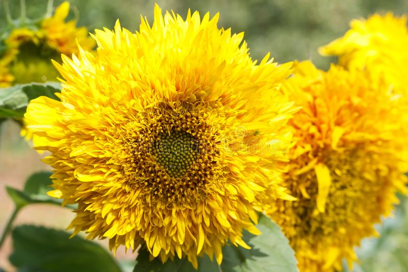yellow flowers or sunflowers grow in a field in a meadow in the sun in summer and spring royalty free stock photos