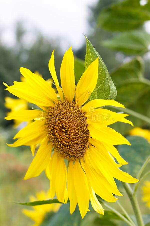 Yellow flowers or sunflowers grow in a field in a meadow in the sun in summer and spring stock photos