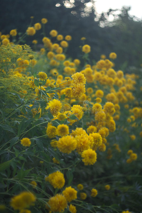 Yellow Flowers. Yellow suns in the green garden stock photo