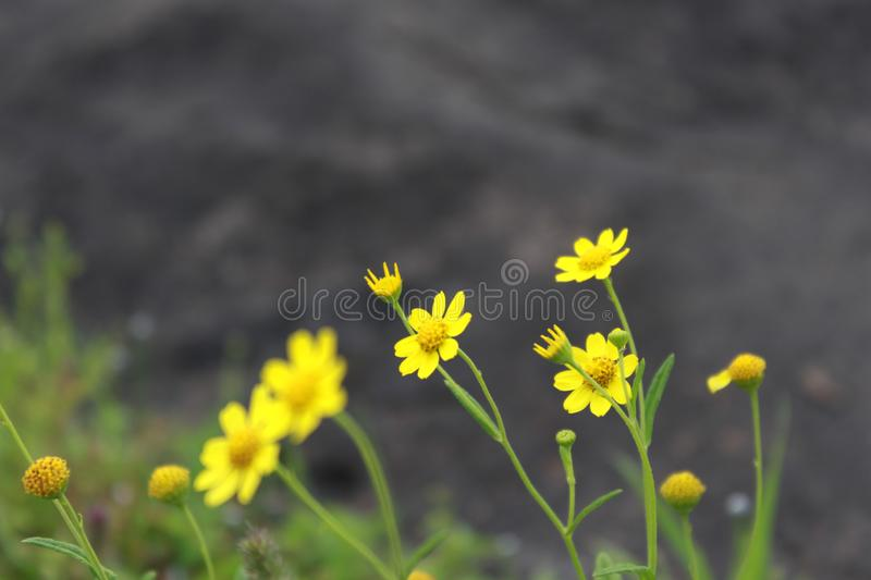 Yellow flowers. Swinging on cold breezes on hill top of Naneghat stock photos