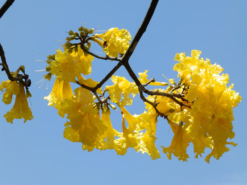 Yellow flowers on a tree stock images