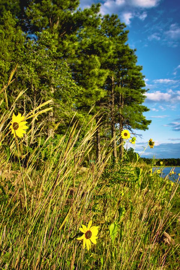 Yellow Flowers with Trees, Lake and a Gorgeous Blue Sky in Arizona, USA. This is a Photograph of a Beutiful Landscape with Yellow Flowers, Trees, Lake and a stock image