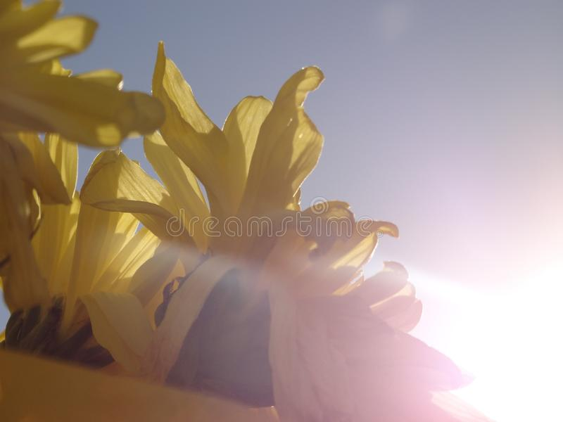 Yellow Flowers under Bright Sun Light royalty free stock photo