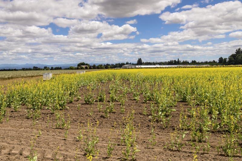 Yellow flowers Willamette valley Oregon. Field of yellow flowered plants Willamette Valley Oregon stock photos